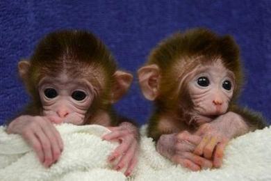 in-laboratorio-scimmie-chimera-l-ywljta